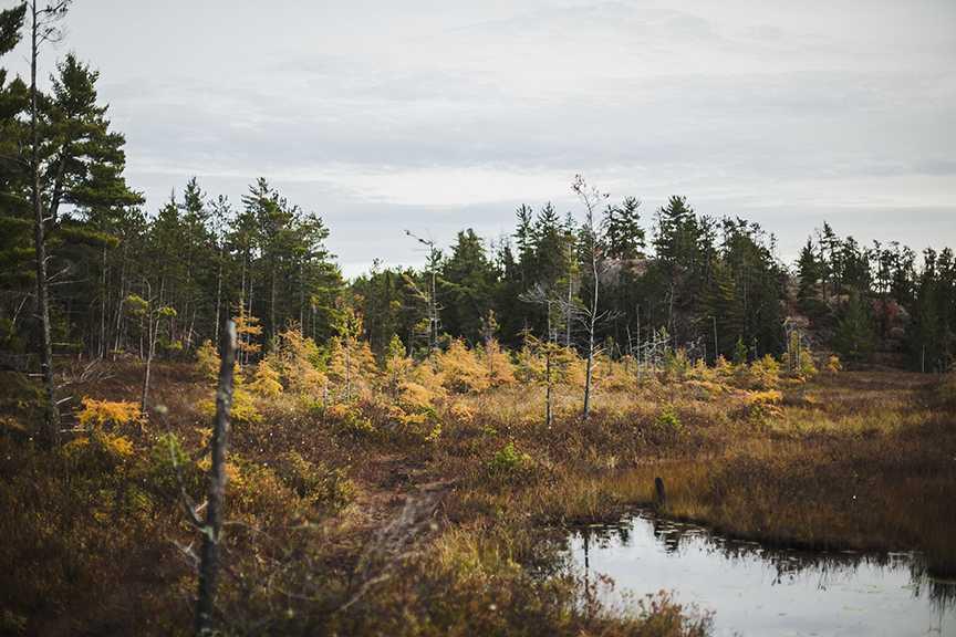 Tamaracks, deciduous conifers, turning bright yellow before losing their needles along Wetmore Bog.