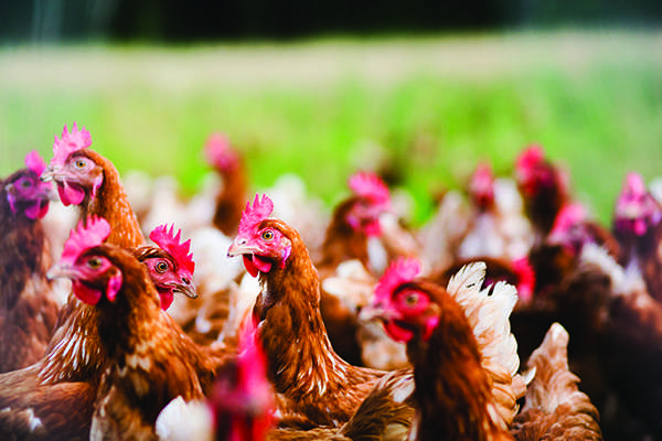 re-Chickens.ET.3